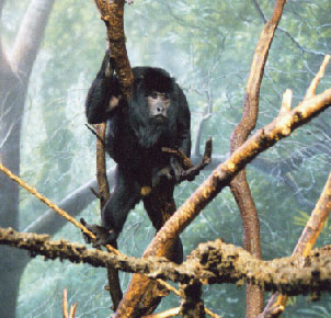 Black Howler Monkey (Male)