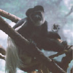 Abyssianian Black-and-white Colobus Monkey