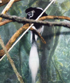 Abyssinian black-and-white colobus monkey
