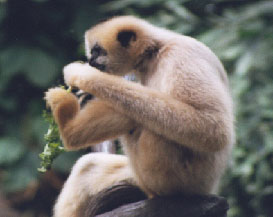 Black Gibbon (female eating)