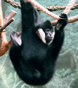 Black Gibbon (adult male)