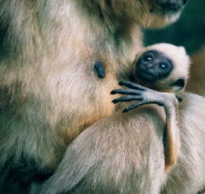 Black Gibbon (two month infant)