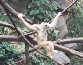 Black Gibbon (adult female)