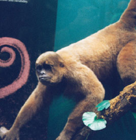 Humboldt's Woolly Monkey