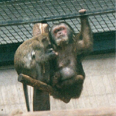 Stumptailed Macaque (being groomed by a Crab-eating Macaque)