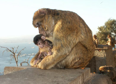 Barbary Macaques; photo copyright Peter Strong