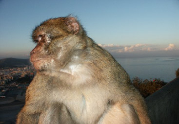 Barbary Macaque; photo copyright Peter Strong
