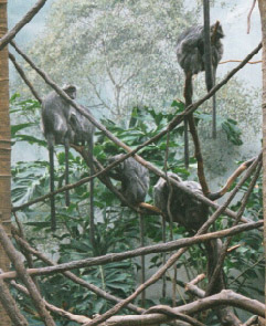 Silvered Leaf-monkey